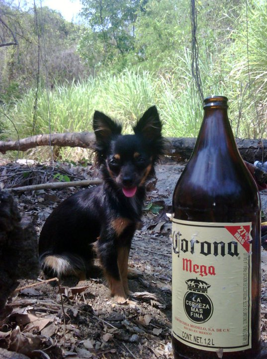 Cheeky chihuahua Tequila and a Corona Mega, or caguama